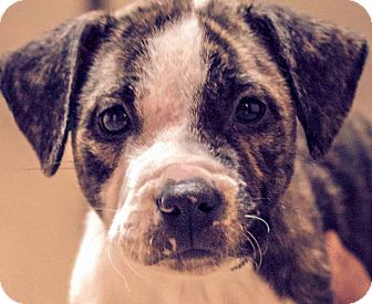 Boxer Mix Puppy for adoption in Wakefield, Rhode Island - LEVI(WHAT A STORY!! PLS READ!!