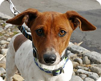 Jack Russell Terrier Mix Dog for adoption in East Hanover, New Jersey - Goonie