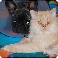 Adopt A Pet :: Al Capone - Beverly Hills, CA