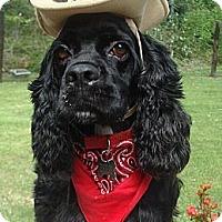 Adopt A Pet :: Cowboy - Sugarland, TX