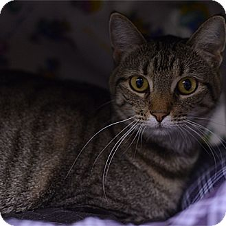 Domestic Shorthair Cat for adoption in Stillwater, Oklahoma - Allie