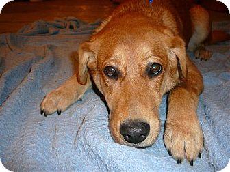Golden Retriever/Labrador Retriever Mix Dog for adoption in Liberty Center, Ohio - Sarah
