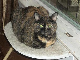 Domestic Shorthair Cat for adoption in Cincinnati, Ohio - zz 'Mable' courtesy post