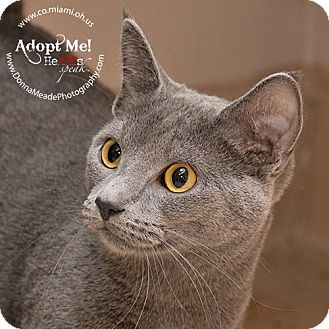 Domestic Shorthair Cat for adoption in Troy, Ohio - Smoky Adopted