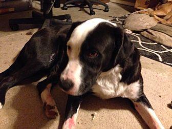 Labrador Retriever/Border Collie Mix Dog for adoption in Royse City, Texas - Phantom