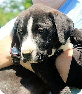 Labrador Retriever Mix Puppy for adoption in Naugatuck, Connecticut - Gybbon