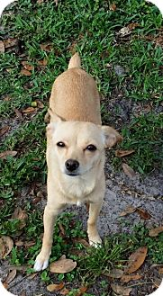 Chihuahua Dog for adoption in Holmes Beach, Florida - Princess