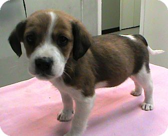 Collie/Beagle Mix Puppy for adoption in Maynardville, Tennessee - Ike