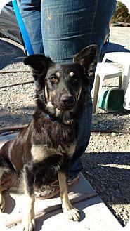 German Shepherd Dog Dog for adoption in Pahrump, Nevada - Cutie