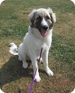 Great Pyrenees/Anatolian Shepherd Mix Dog for adoption in LaGrange, Kentucky - OLIVER
