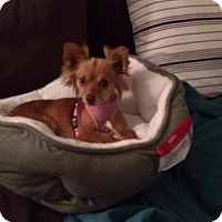 Adopt A Pet :: Nutmeg - Manhattan, NY