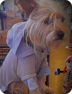Yorkie, Yorkshire Terrier Dog for adoption in Sanford, Florida - Prince