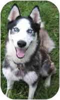 Siberian Husky Mix Dog for adoption in Houston, Texas - Tango