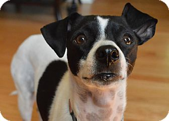 Rat Terrier/Jack Russell Terrier Mix Dog for adoption in Rochester Hills, Michigan - Piper
