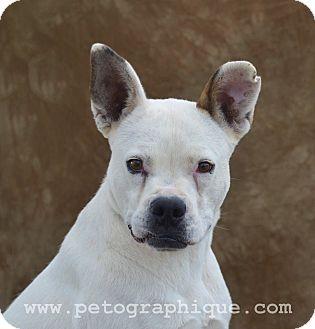 Boxer Mix Dog for adoption in Las Vegas, Nevada - Cher