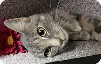 Domestic Shorthair Cat for adoption in Voorhees, New Jersey - Dixie