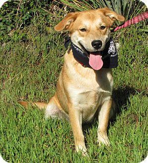 Lakeland Terrier/Golden Retriever Mix Dog for adoption in Oakland, Arkansas - Festus