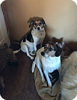 Beagle Mix Dog for adoption in Columbus, Ohio - Bitsy