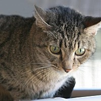 Adopt A Pet :: Tiger - North Fort Myers, FL