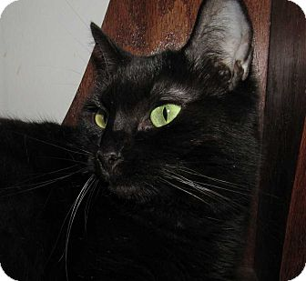Domestic Shorthair Cat for adoption in Norwich, New York - Myrhh