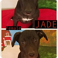 Adopt A Pet :: Jade in CT - Manchester, CT