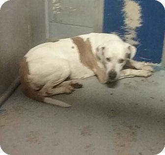 Weimaraner Mix Dog for adoption in Elizabeth, New Jersey - Pretty