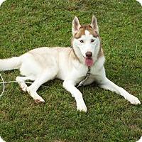 Adopt A Pet :: Blitz - Watha, NC