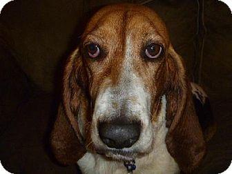 Basset Hound Dog for adoption in Charleston, South Carolina - Chessie