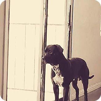 German Shepherd Dog/Mastiff Mix Dog for adoption in Las Vegas, Nevada - Doobie
