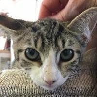 Adopt A Pet :: Juliet - Visalia, CA