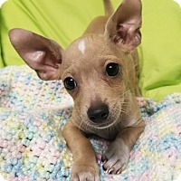 Dachshund/Chihuahua Mix Puppy for adoption in Los Angeles, California - Johnny