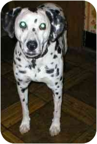 Dalmatian Dog for adoption in Milwaukee, Wisconsin - Laddie