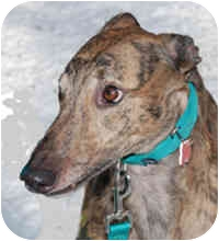 Greyhound Dog for adoption in Ware, Massachusetts - Boudreaux