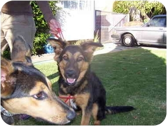 Shepherd (Unknown Type) Mix Dog for adoption in Malibu, California - BONO and BILLY RAY