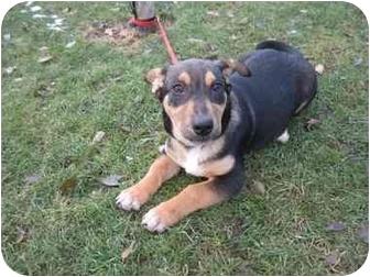 Corgi/Shepherd (Unknown Type) Mix Puppy for adoption in Wapato, Washington - Luey