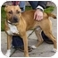 Photo 3 - American Pit Bull Terrier Mix Puppy for adoption in Berkeley, California - Butterscotch