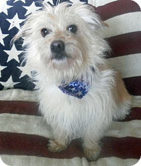 Cairn Terrier Mix Dog for adoption in Los Angeles, California - Justice