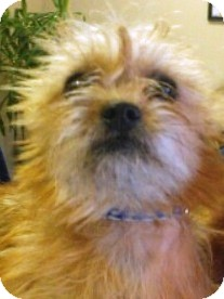 Yorkie, Yorkshire Terrier/Shih Tzu Mix Puppy for adoption in Oswego, Illinois - Ginger