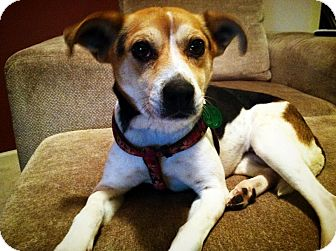 Beagle/Jack Russell Terrier Mix Puppy for adoption in Hastings, New York - Valentine