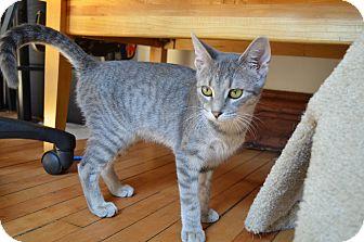 Domestic Shorthair Kitten for adoption in Chicago, Illinois - Lil Bit