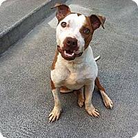 Adopt A Pet :: Javelin - WARREN, OH