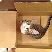 Adopt A Pet :: Percy - Brooklyn, NY