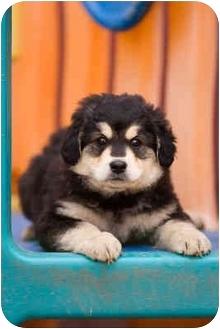 German Shepherd Dog/Golden Retriever Mix Puppy for adoption in Portland, Oregon - Ringo