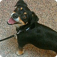 Adopt A Pet :: Bernie - chiweenie! - Phoenix, AZ