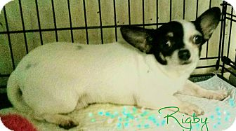 Chihuahua Dog for adoption in House Springs, Missouri - Rigby