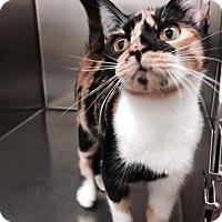 Adopt A Pet :: Diana pretty as a picasso - McDonough, GA