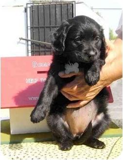 Cocker Spaniel/Rottweiler Mix Puppy for adoption in West Los Angeles, California - Raven/Rambler