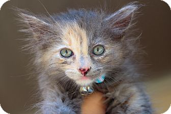 Domestic Longhair Kitten for adoption in College Station, Texas - Buffy