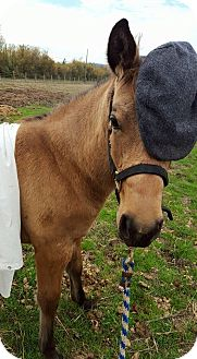 Mustang/Quarterhorse Mix for adoption in Sheridan, Oregon - Dakota