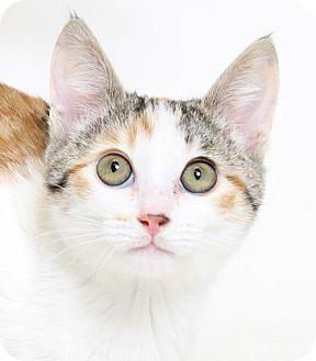 Domestic Shorthair Cat for adoption in Truckee, California - Lucy